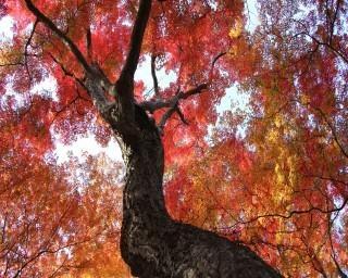 幻想的な紅葉が楽しめる!栃木県大田原市で「佐久山御殿山もみじ祭」が開催中