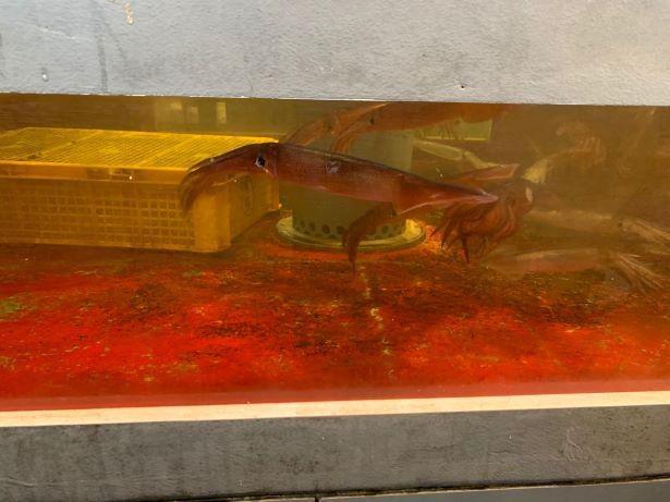店内の水槽で元気に泳ぐイカ。イカ釣りもできる