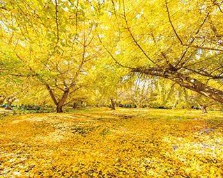 見渡す限り黄金一色に染まった絶景!愛知県「祖父江のイチョウ」や温泉を満喫するドライブへ