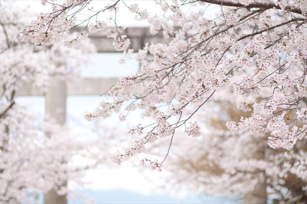桜シーズンの宝満宮 竈門神社