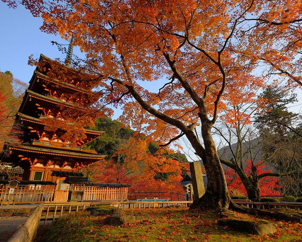 花の御寺は紅葉も格別、桜井市の長谷寺で紅葉が見頃