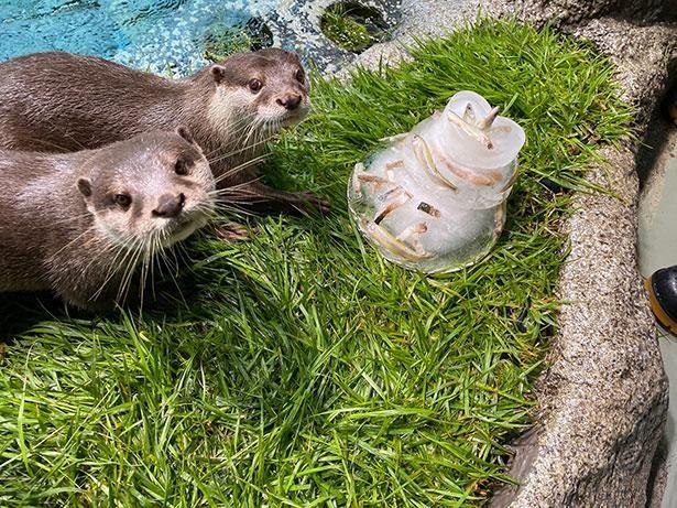 【写真】カワウソたちにクリスマスアイスケーキをプレゼント!サンシャイン水族館ならではのイベントを多数展開