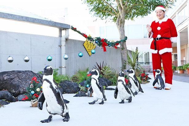 【写真】ケープペンギンたちの歩く姿がかわいすぎる…「シーパラダイスクリスマス」はイベントが満載!