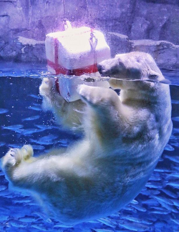 ホッキョクグマに飼育員お手製のおもちゃをプレゼント!