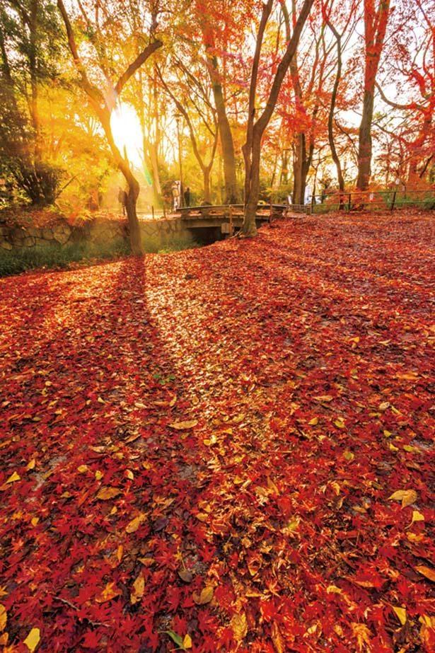 瀬見の小川と泉川沿いに広がる原生林・糺の森は散り際までも美しい。楼門や南口鳥居周辺も絶景だ/下鴨神社(賀茂御祖神社)