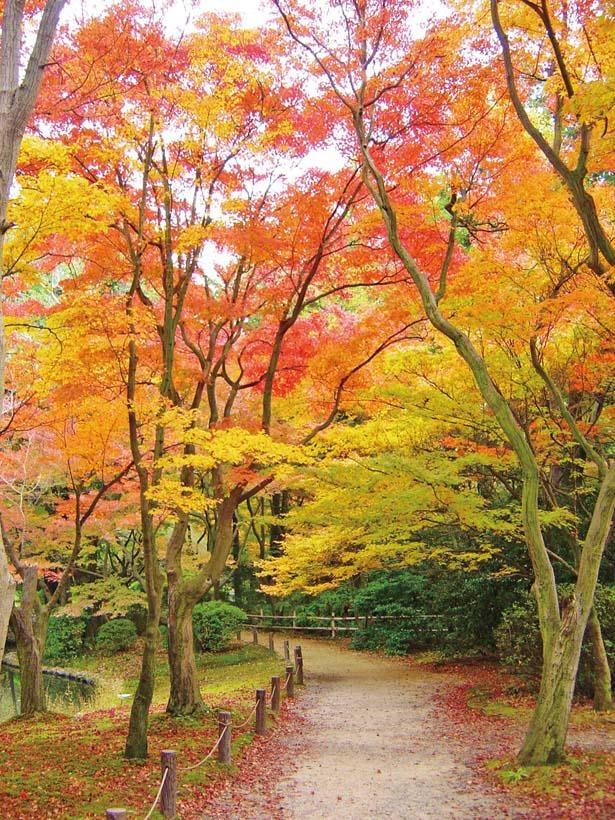 見るべき絶景はなからぎの森周辺。約200本のイロハモミジが「なからぎの森周辺」の池に映る光景は園内有数の美しさ。「あじさい園」のフウの大木の紅葉も必見!/京都府立植物園