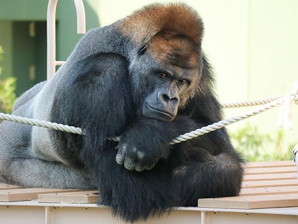 【写真】イケメンゴリラとして有名なシャバーニがいる東山動植物園に関する問題も⁉
