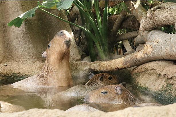 王国に暮らすカピバラたちが元気に過ごせるよう、プールの水を温かいお湯に変更