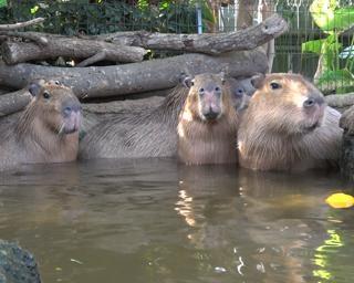 温泉に浸かるカピバラにほっこり。神戸どうぶつ王国で「王国温泉」開催中