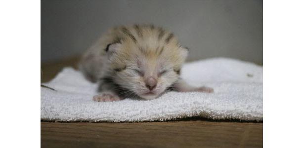 スナネコは世界最小の野生ネコ。愛くるしい姿から「砂漠の天使」と呼ばれるが、気性が荒くペットには向いていない