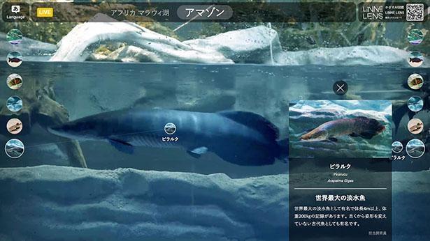 4K水中カメラの映像をAI解析し、オリジナル解説を大型スクリーンに表示する新展示システム「リンネレンズ スクリーン」