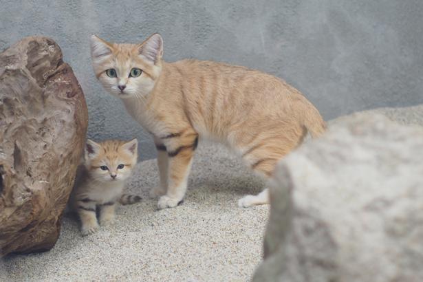 11月に生まれたスナネコの赤ちゃんと母親のバリー