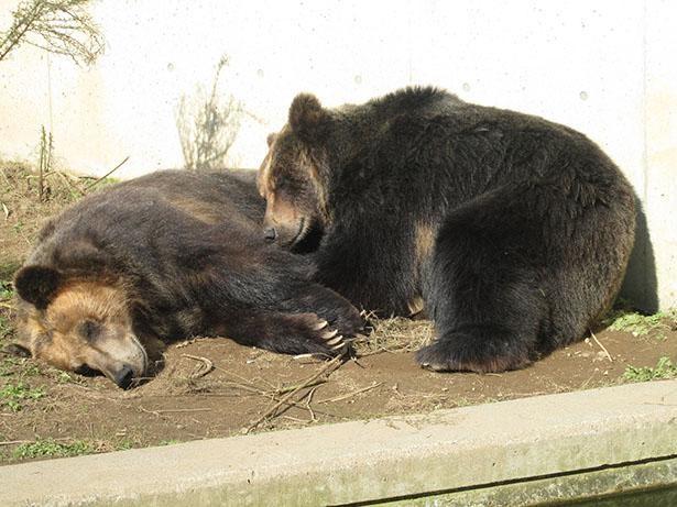 「日立市かみね動物園」のヒグマ