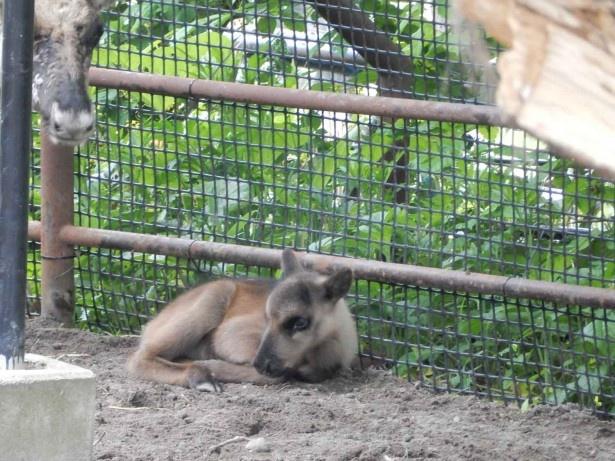 旭山動物園・トナカイ。生まれたころのリン