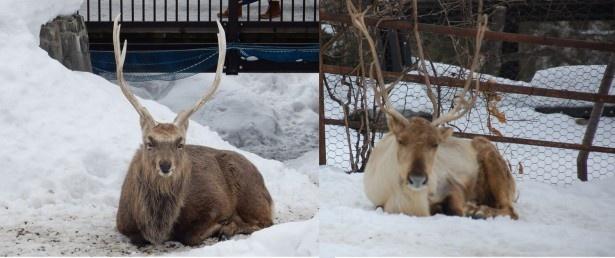 旭山動物園・トナカイとエゾシカの毛の違い。向かって左側がエゾシカ、右側がトナカイ