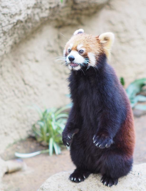 かつて風太くんが日本中で大人気となったが、須々もこの通り!レッサーパンダは二足立ちが得意なんだとか