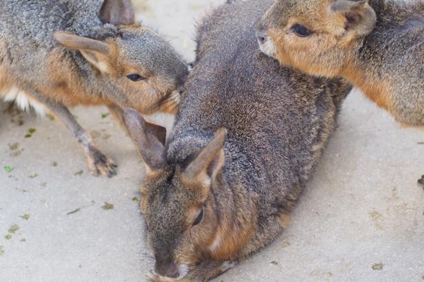 カピバラと共に暮らすマーラにも注目を。ウサギのようなリスのようなシカのような、不思議な動物だ