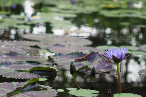 動物だけでなく、四季折々の花にも心が癒される。なかでも100種類以上のスイレンが咲く巨大プール「ウォーターリリーズ」は必見