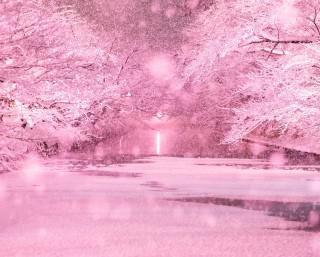 210本の桜が照らされる、青森県の弘前公園で「冬に咲くさくらライトアップ」が開催中
