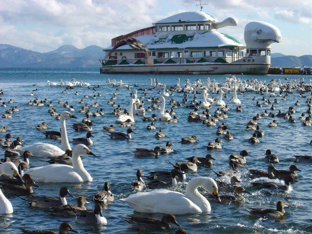 冬の風物詩・白鳥と遊覧船