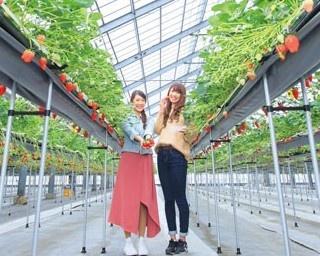 約2000平米のハウス内で、約20000株のいちごを栽培する/ベリーファーム宇治