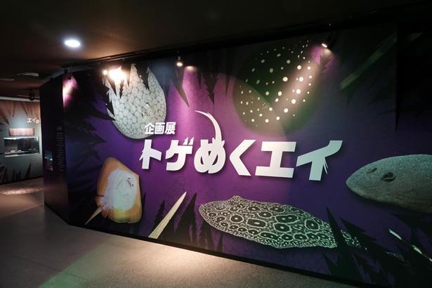 企画展「トゲめくエイ」は1階の展示スペースで開催中。入館料のみで観覧できる