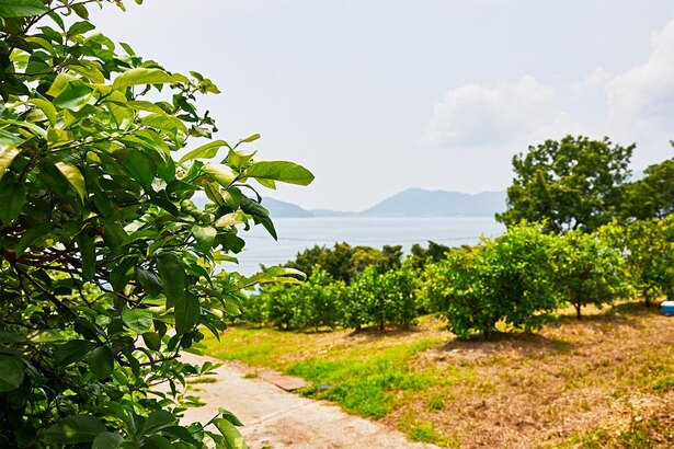 【写真】国内産レモンの3割以上がこの生口島と隣の高根島で育てられる瀬戸田町産