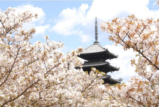 京都を代表する桜の名所「仁和寺」