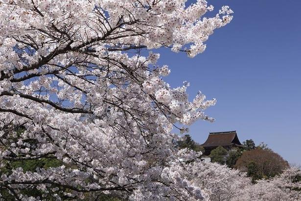 【写真】吉野山(中千本)のヤマザクラ