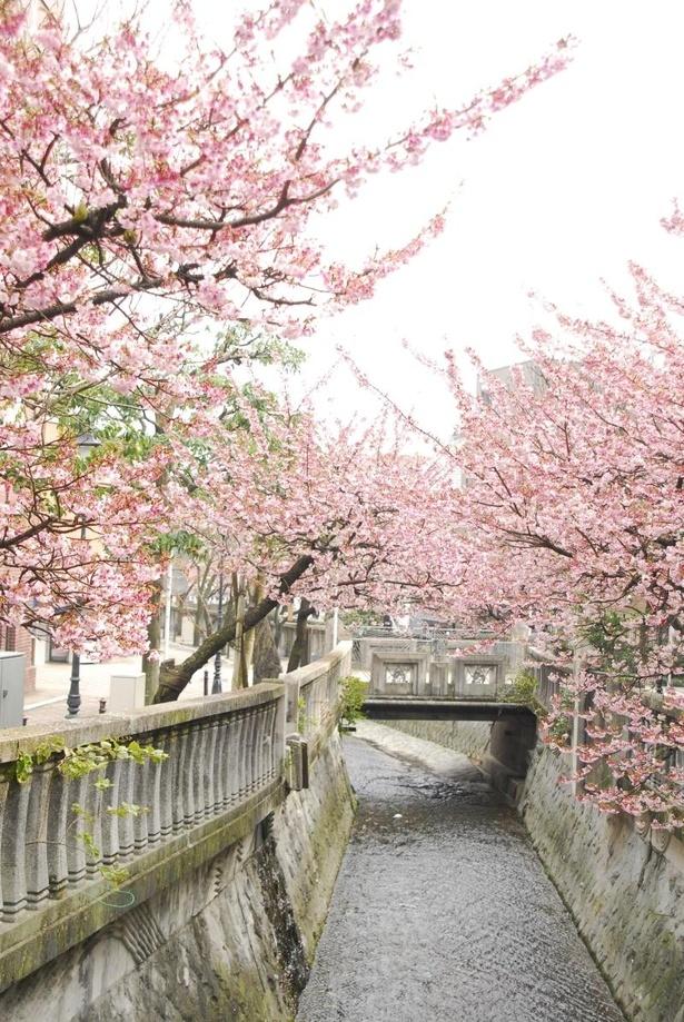 熱海市・糸川遊歩道のあたみ桜