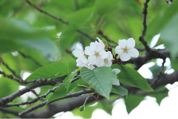白く大輪の花を咲かせるオオシマザクラ