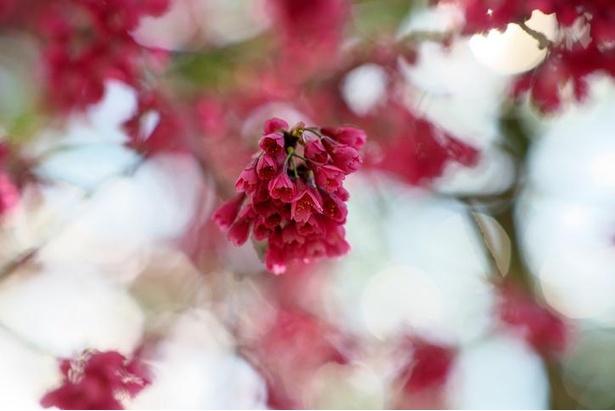 濃紅色の花が特徴のカンヒザクラ