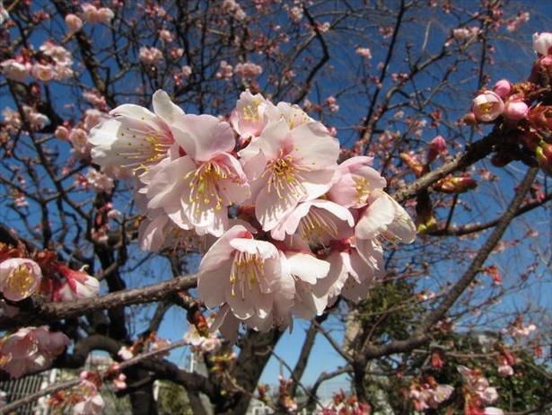 地域により1月には開花するカンザクラ