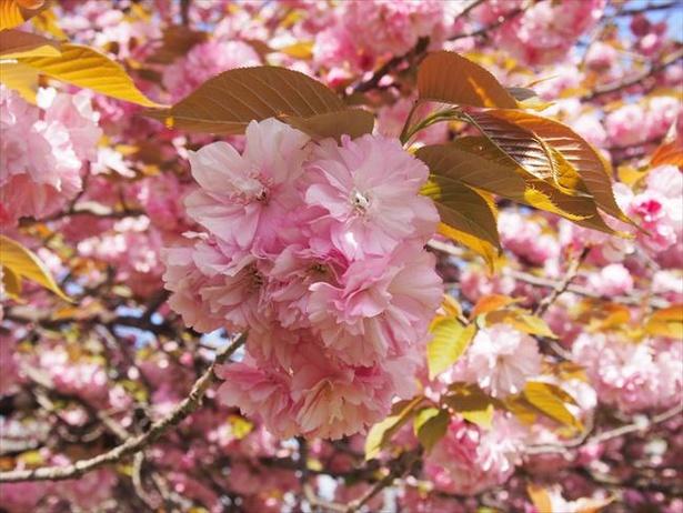 八重桜の代表的品種のひとつ、カンザン