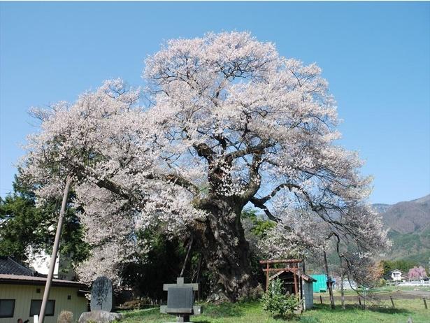 樹齢1000年を超える中曽根のエドヒガン