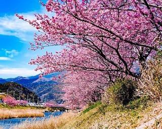 早咲き桜「河津桜」の名所・河津町の「河津桜まつり」が中止決定。新型コロナ拡大受け