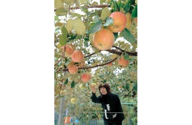 みずみずしいリンゴがおいしー!