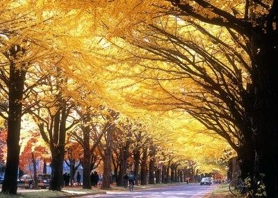北海道大学イチョウ並木の黄色く染まった自然のトンネルへGO!