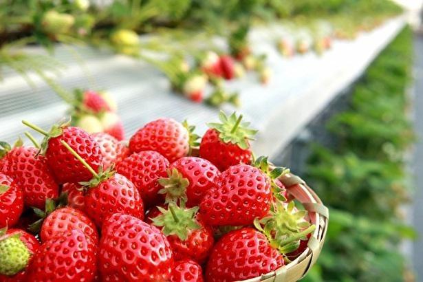 甘い香りのいちごが食べ放題 / ふるさと農園美の関