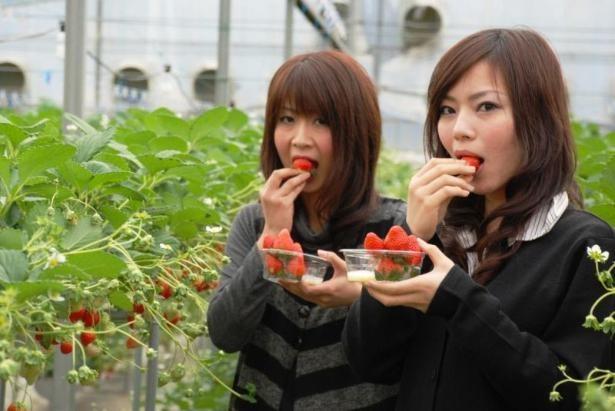 4品種のいちごが食べ放題 / 伊豆フルーツパーク
