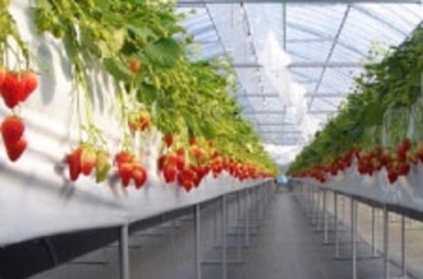 減農薬栽培されたいちごが魅力 / haruいちご農園