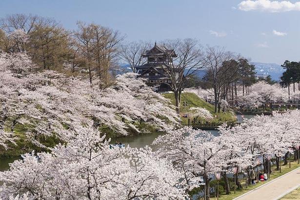 高田城址公園の桜