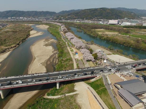 全長1kmを超える桜の堤