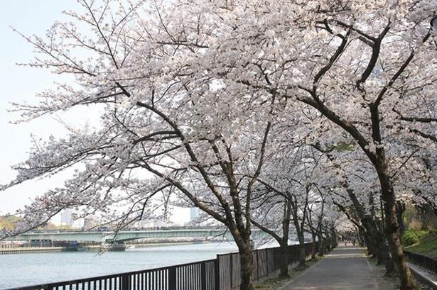 ゆったり流れる大川沿いの歩道が桜色に染まる