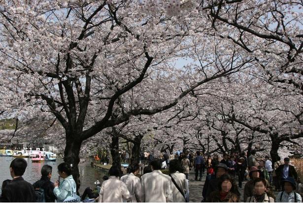 不忍池の桜並木