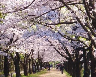 大阪府の桜・花見が楽しめる公園10選
