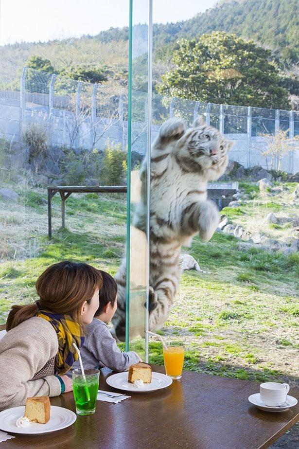 園内には猛獣を見ながら食事ができるレストランも(不定期営業)