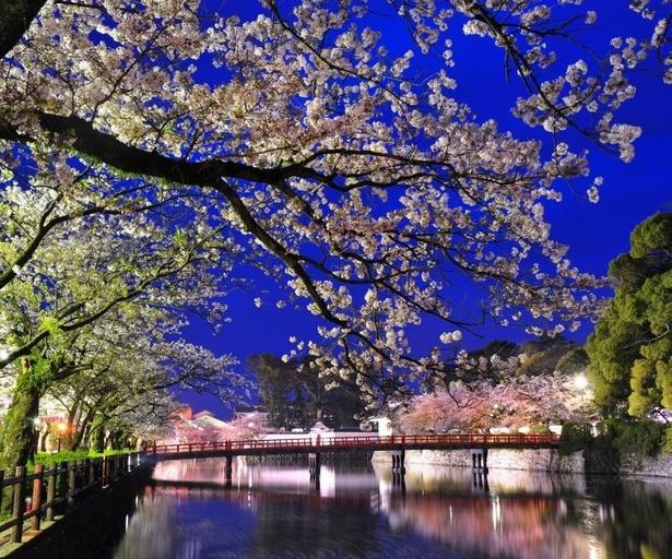 ぼんぼりの光や照明を浴び、幻想的な雰囲気をまとった桜