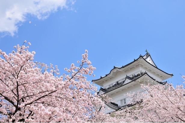 【写真】小田原城址公園の桜