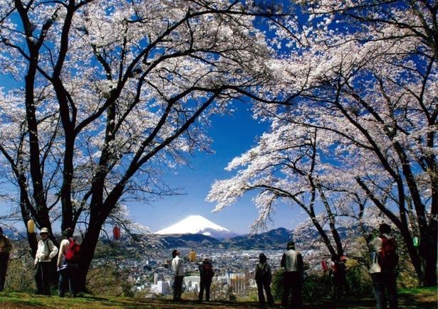 弘法山公園に咲き誇る約1400本の桜